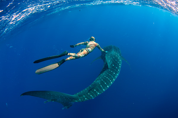 diving with whale sharks ascension island